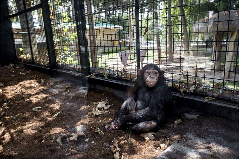 ببینید   باران از ایران رفت؛ شامپانزه پارک ارم طی مراسمی راهی کنیا شد